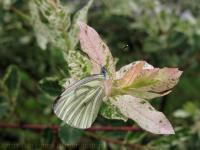 Motyl Bielinek bytomkowiec (pieris napi) [zdjęcie Artur Bińkowski]