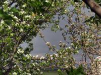 Okwiecone drzewa owocowe w deszczową pogodę