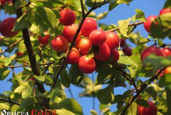Ałycza - czerwone śliwki, Polska