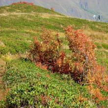 Jagodowe pole na przełęczy w Górach Swaneckich