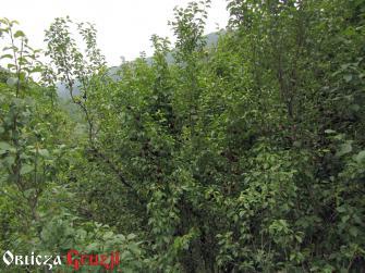 Drzewa z bordowymi śliwkami tkemali, Swanetia, Gruzja