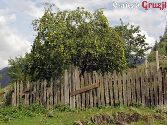 Drzewo z żółtymi śliwkami tkemali w Swanetii, Gruzja