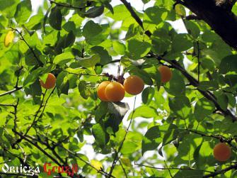Tkemali żółte na drzewie, Imeretia, Gruzja