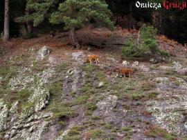 Krowy pasące się swobodnie na górskich stokach Adżarii