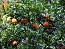 Mandarynki w deszczu