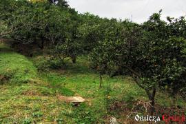 Sad mandarynkowy na dawnych tarasach herbacianych w Chakvi