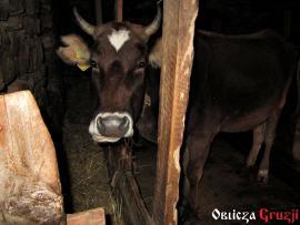 Krowa Nikora w oborze podczas karmienia