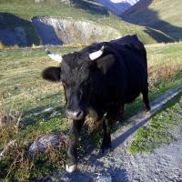 Swański byczek