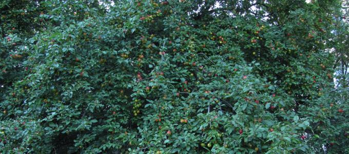 Ałycza - drzewo obsypane kwaśnymi śliwkami, Polska