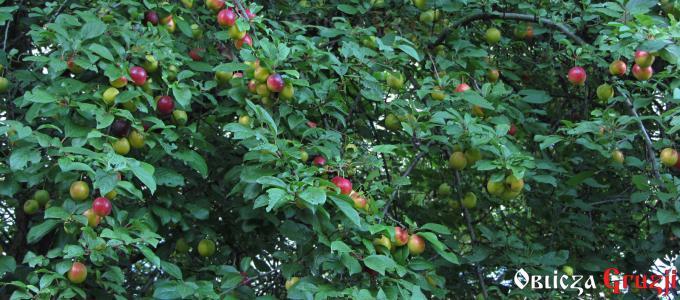 Ałycza - śliwki żółto-czerwone, Polska