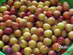 Owoce ałyczy na gruziński sos tkemali - odmiana żółto-czerwona matowa